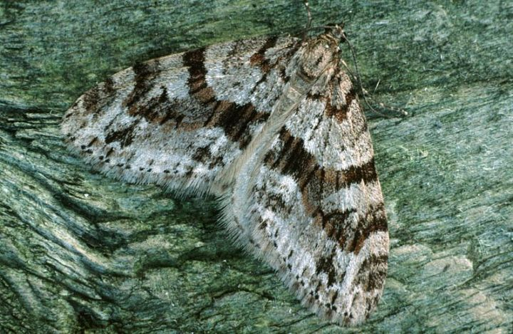 Bare toothed striped moth. Photo: UK Moths