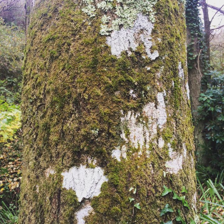 Lichen on a Tree at Brockhill Park