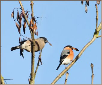 Bullfinch will eat Ash keys during winter. Photo: moorhen
