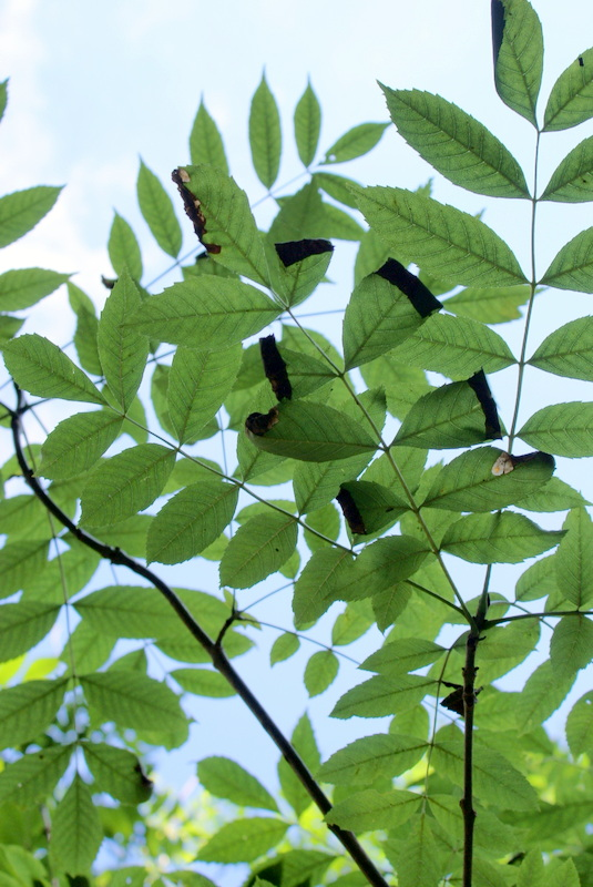 Ash Leaves effected by fungus: Photo: Kent Downs