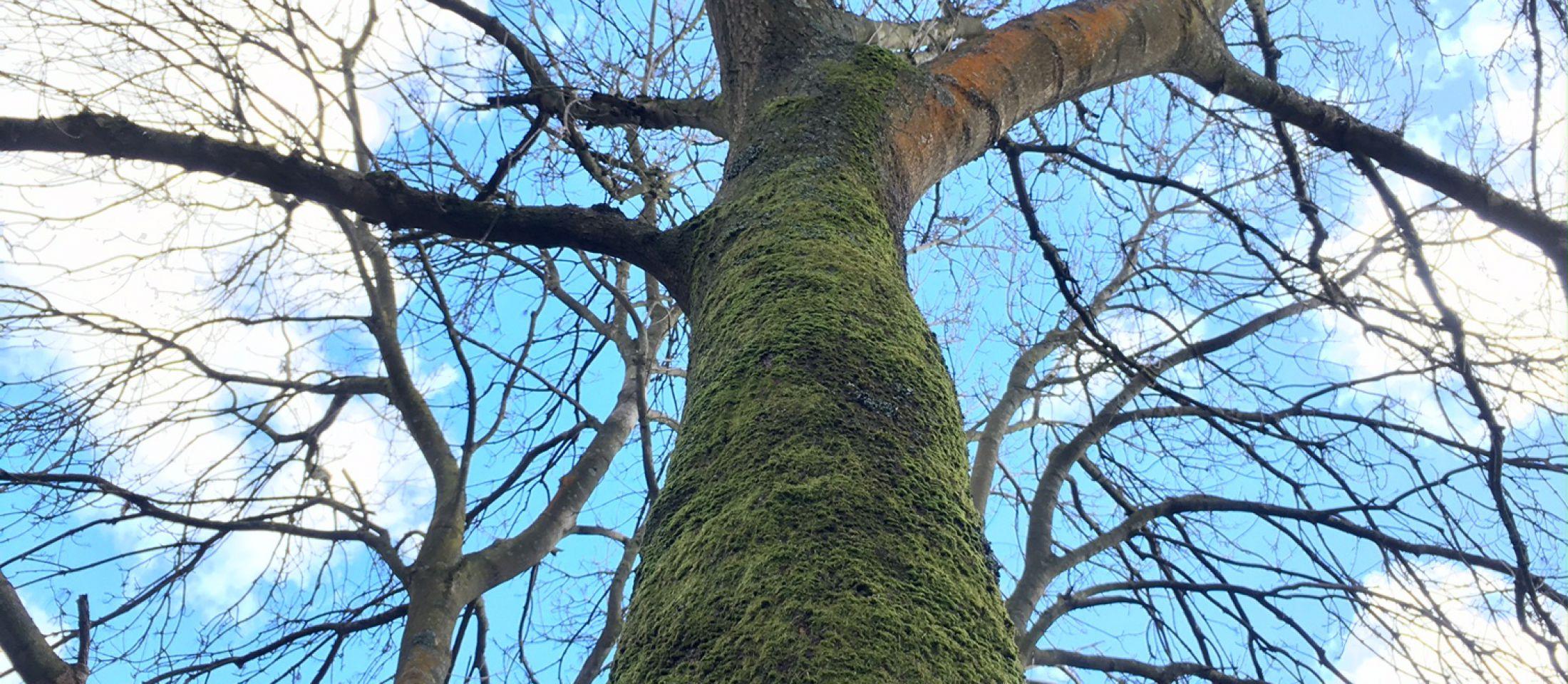Ast trees, Folkestone Downs