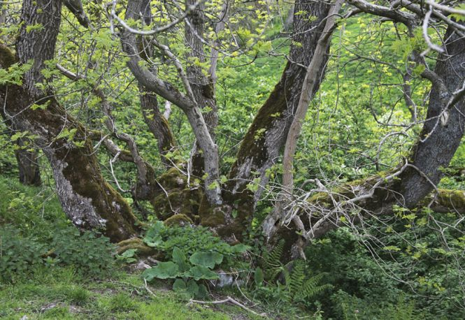 Ash Coppice. Photo: Edward Parker