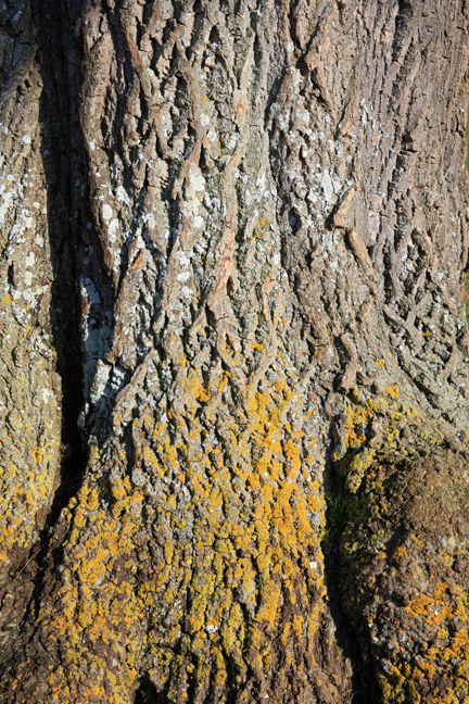 Lichens on old Ash. Photo: Kent Downs