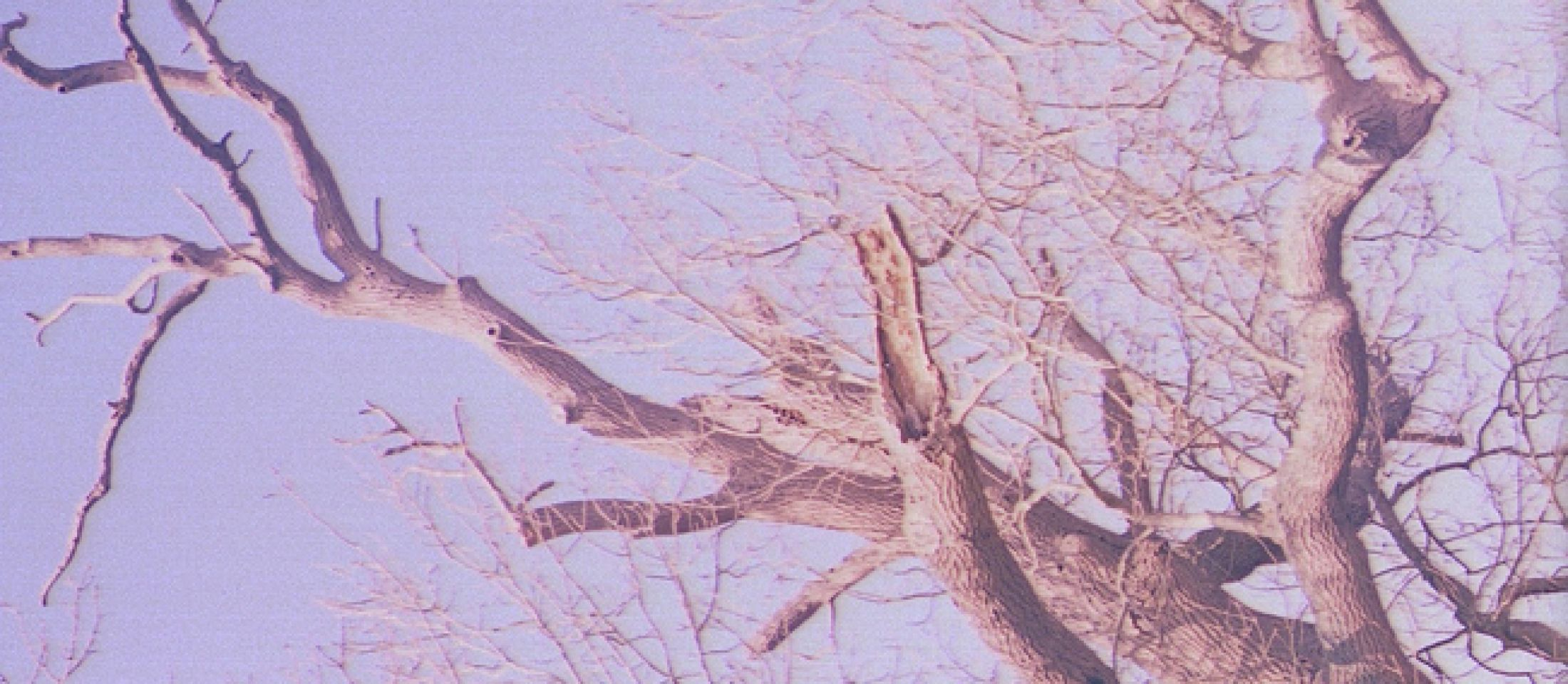 Ash Trees in Kent
