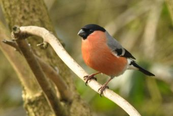 Bullfinch. Photo: RSPB
