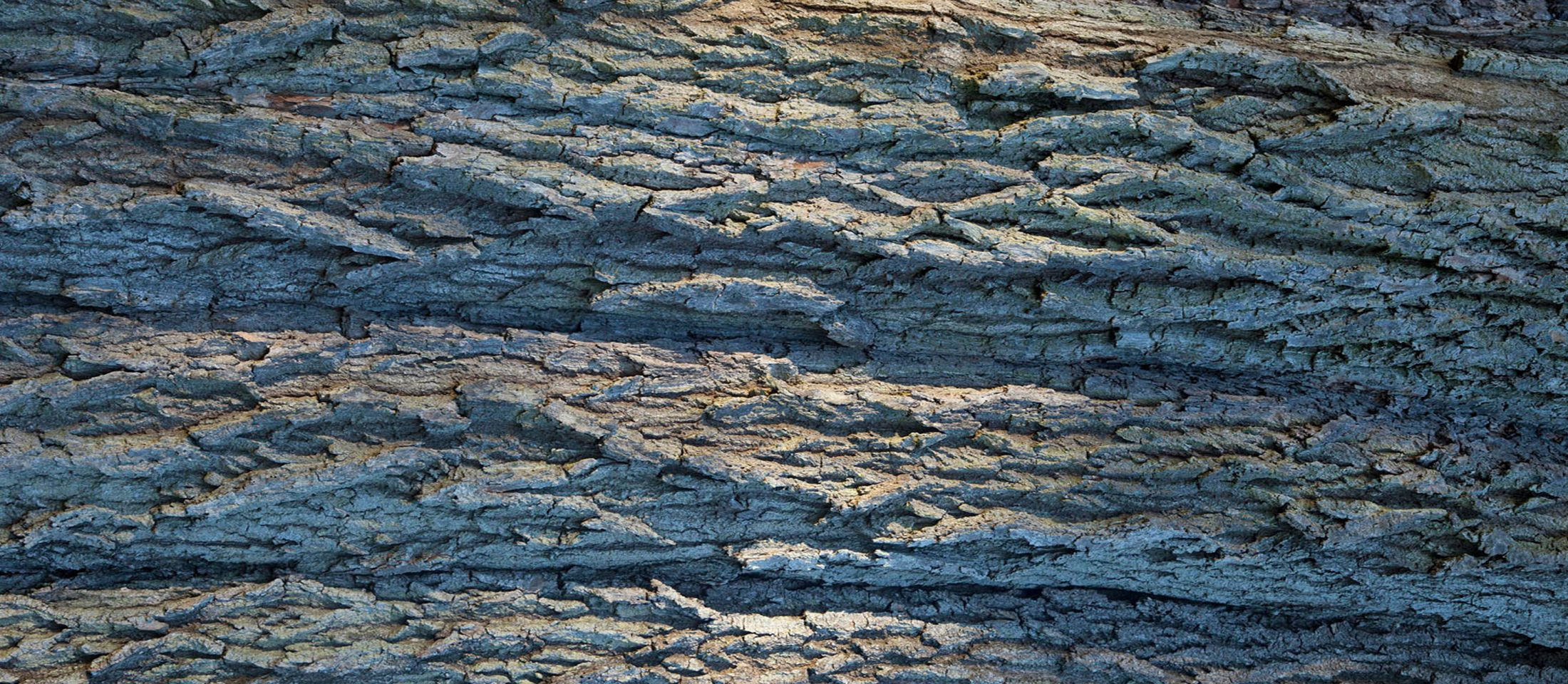 Bark from an ash tree near Ightham Mote and Knole in Kent. Photo: John Miller.