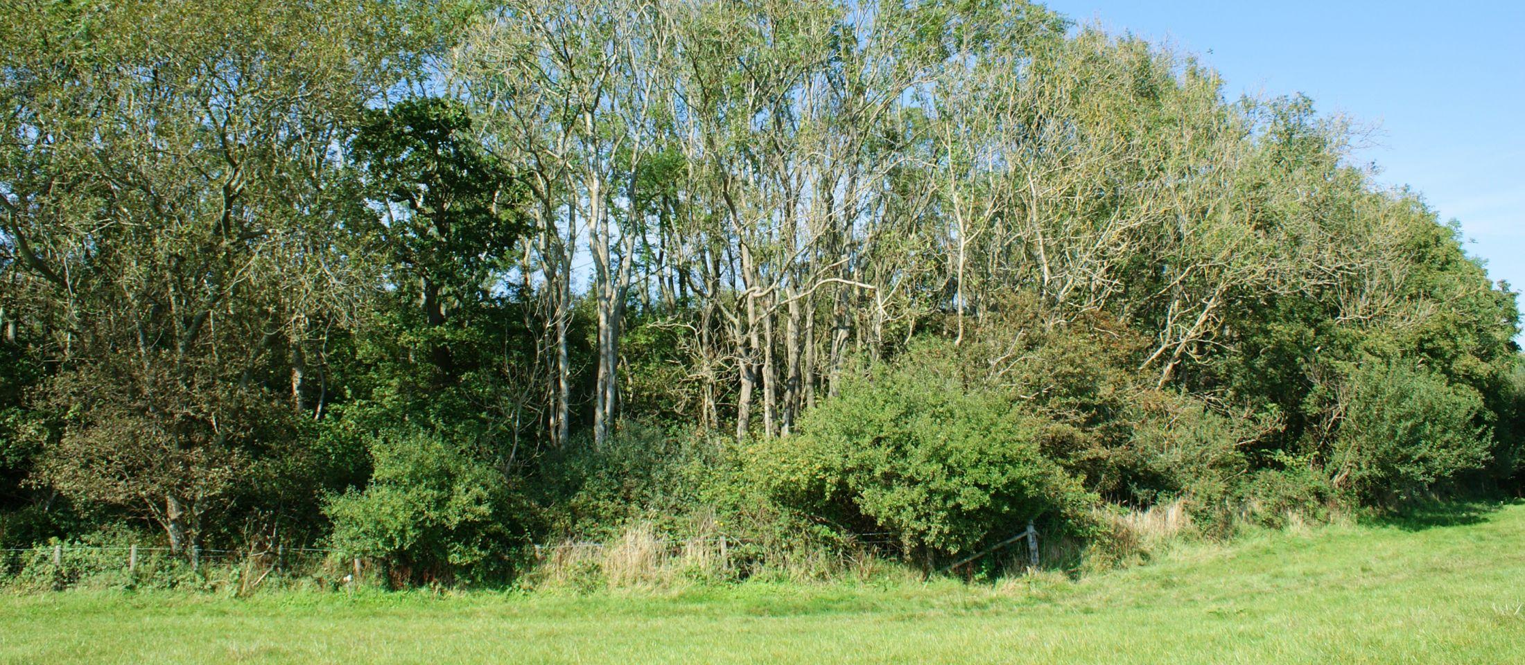 Ash trees in Asholt Wood, Sept 2014.