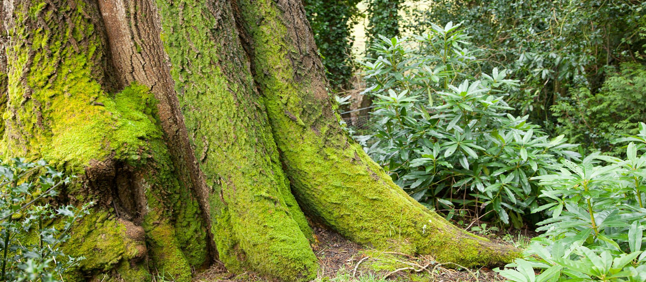 Ash tree in Scotney Castle gardens, Kent. Photo: John Miller.