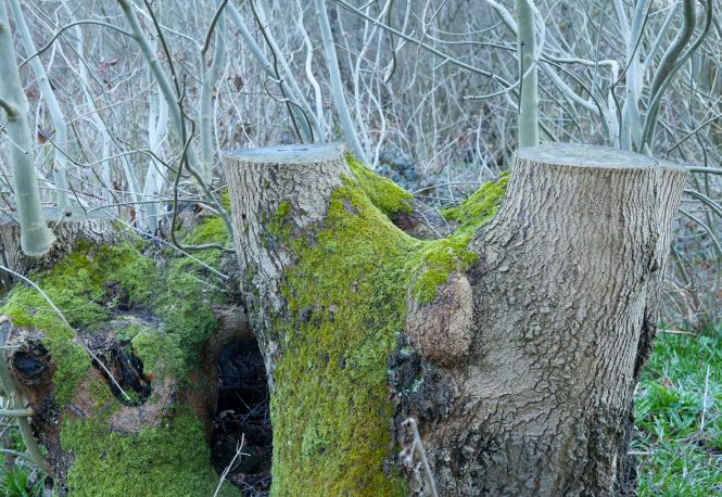 A coppiced ash stool, near Ightham Mote and Knole, Kent. Photo: John Miller.