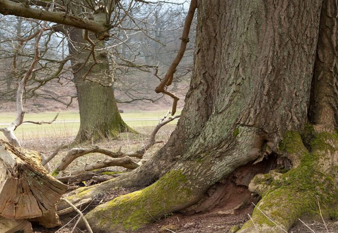 Ash tree near Ightham Mote and Knole, Kent. Photo: John Miller.