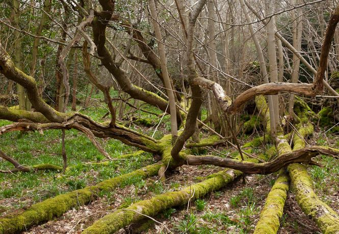 The effects of ash dieback, near Ightham Mote and Knole, Kent. Photo: John Miller.