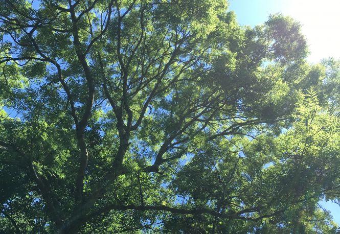 Ash Trees at Brockhill. Photo: Kent Downs