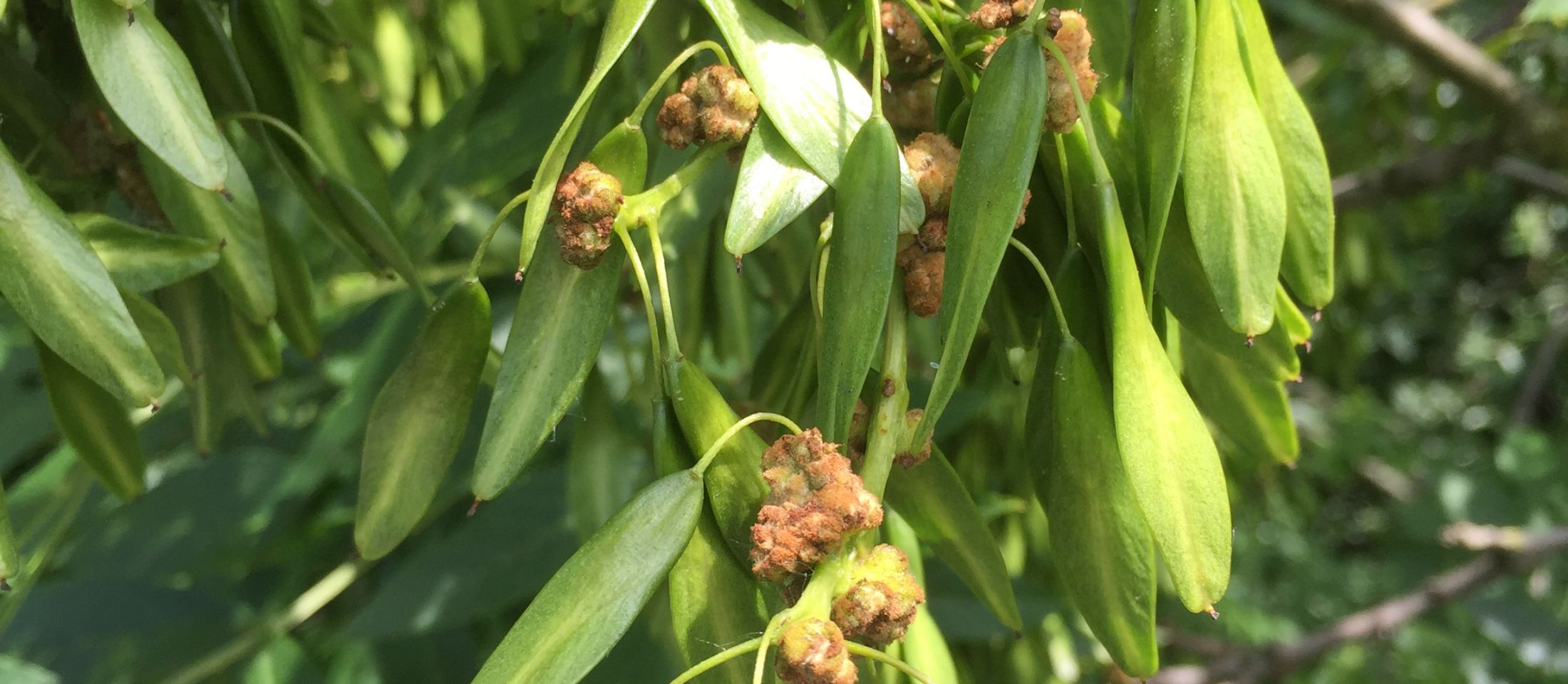 Cauliflower galls. Photo: Tony Harwood