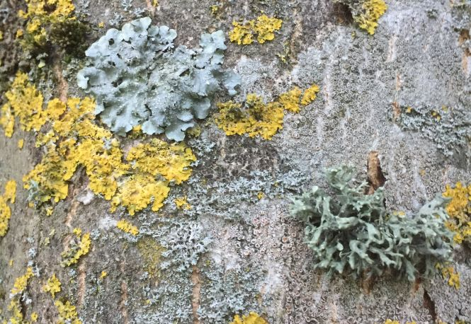 A community of lichen on ash. Photo: Tony Harwood