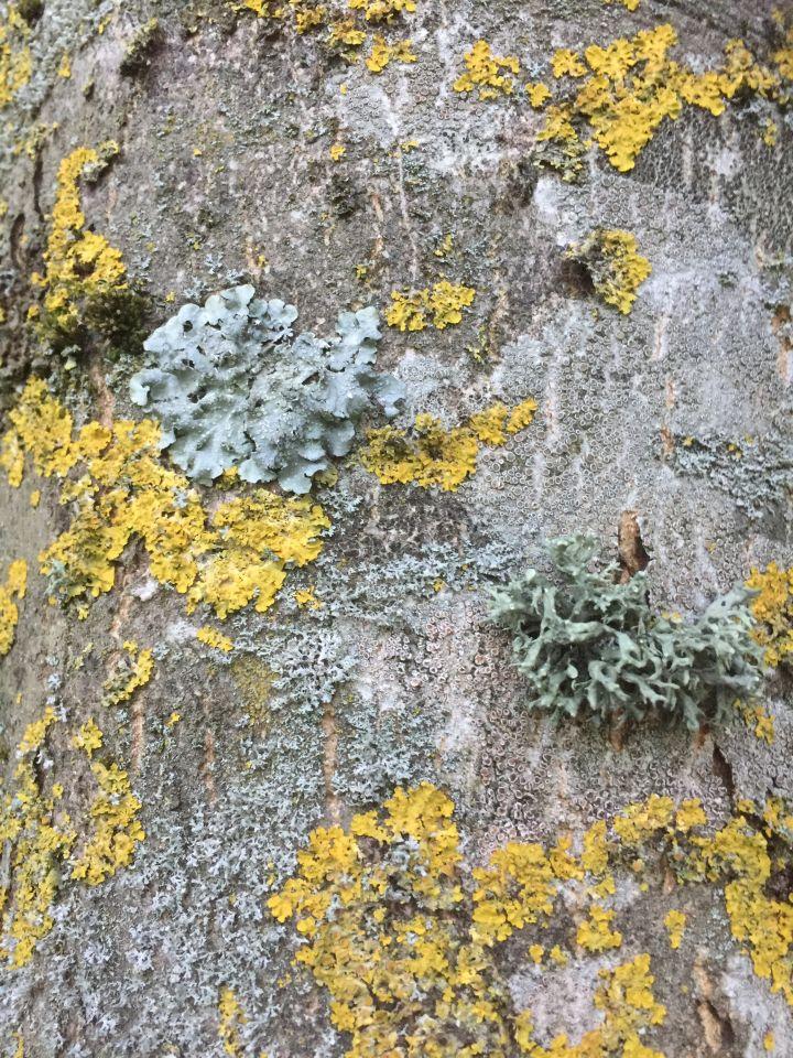 A community of lichen on ash. Photo: Tony Harwood