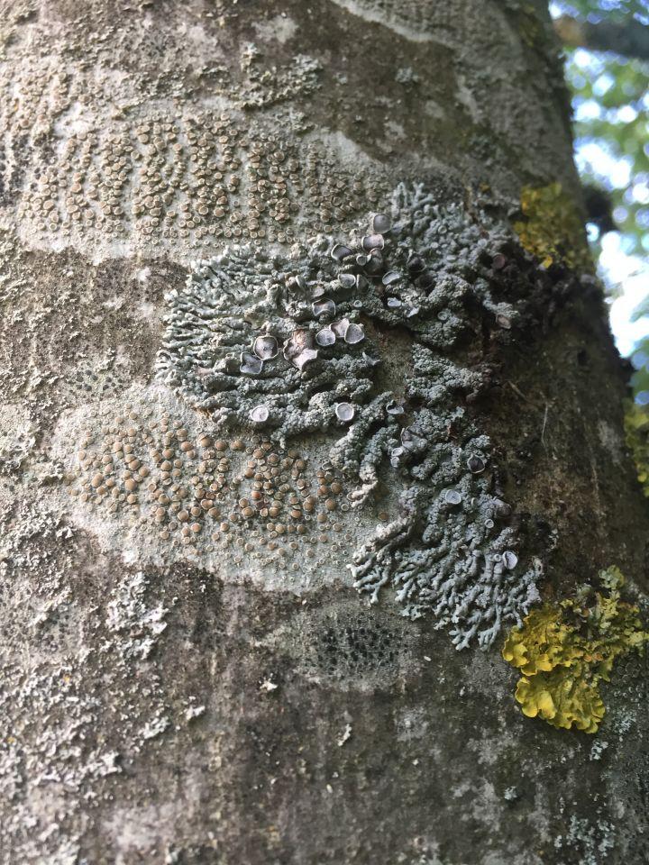 Lichen on ash. Photo: Tony Harwood