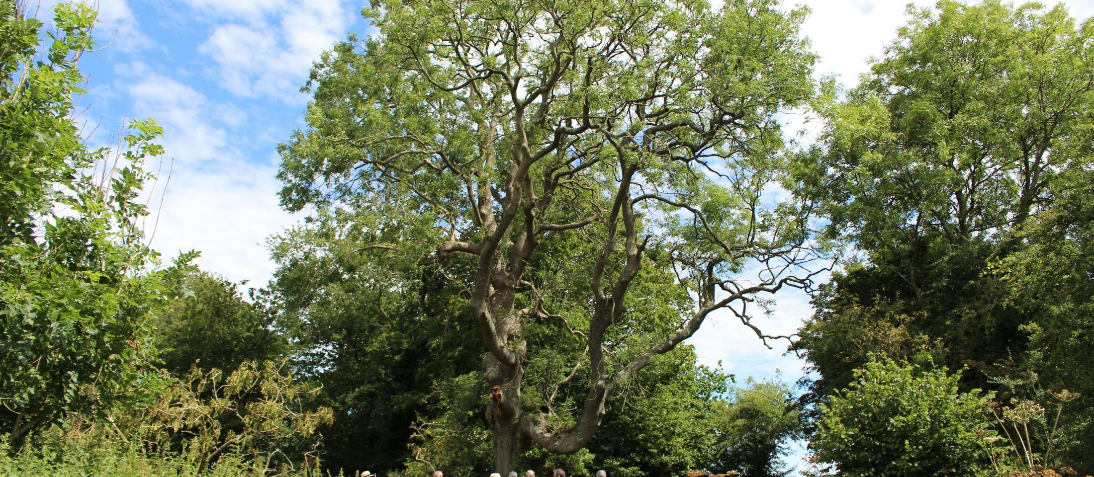 Crundale ash tree. Photo: James Collie