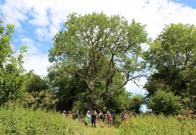Crundale ash tree. Photo: James Collie