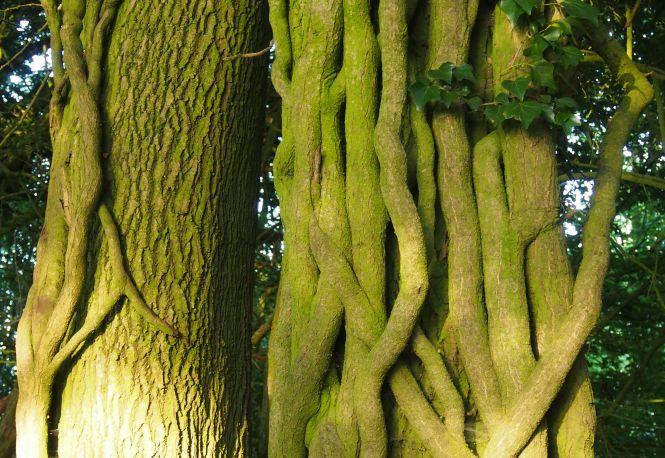 Ivy clad ash trunk, Kent Downs, 2017. Photo: Fiona Fyfe