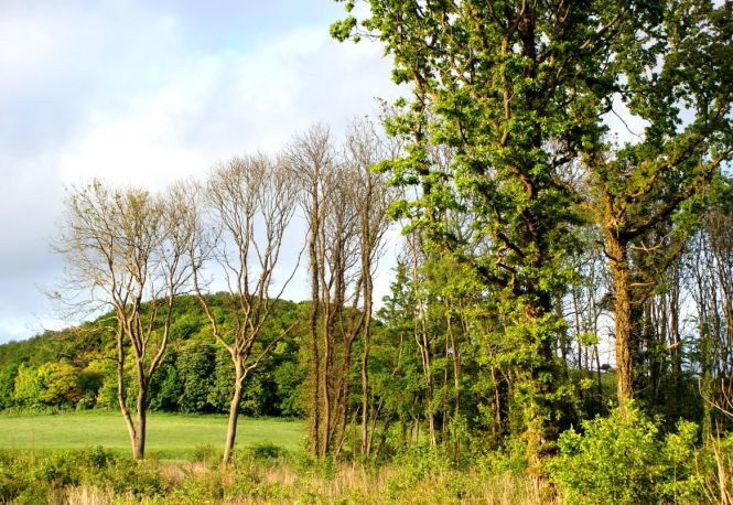 Ash Trees, Thorn Wood, May 2016. Photo: Kent Downs