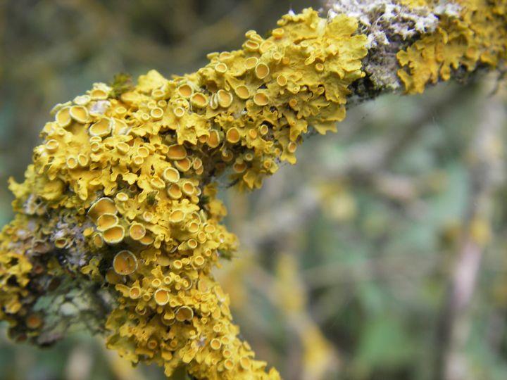 Xanthoria parienta on ash. Photo: Medway Valley