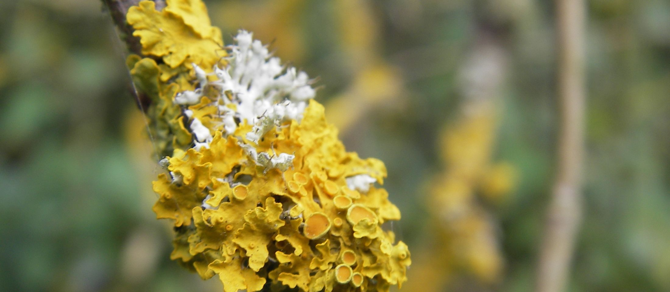 Xanthoria and physica. Photo: Medway Valley