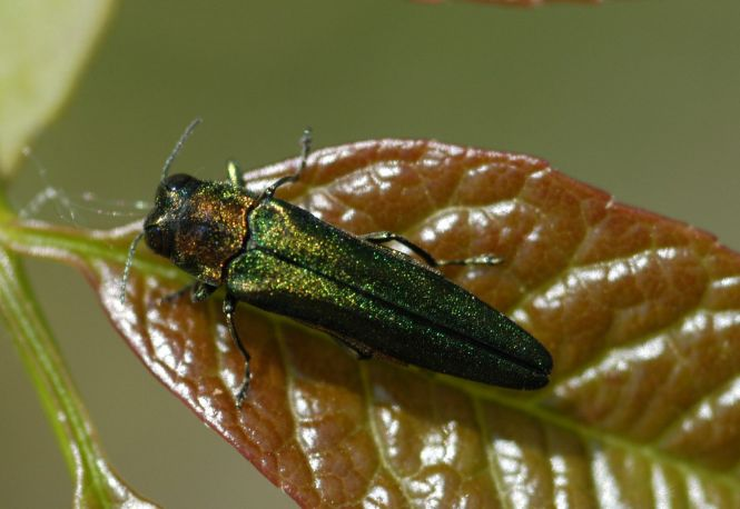 Agrilus-planipennis. Photo: Telegraph