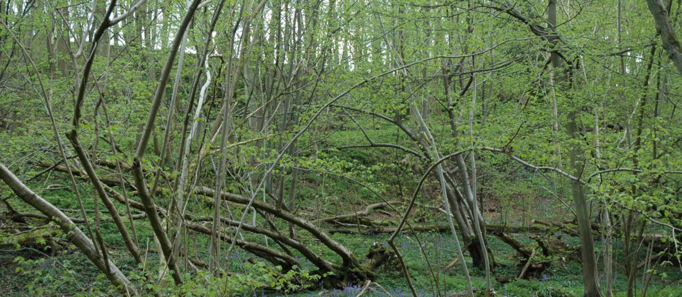 Gorham Woods, near Bicknor