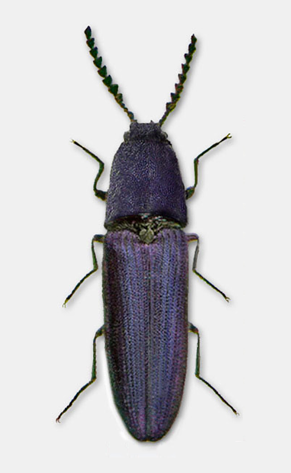 The Violet click beetle (Limoniscus violaceus) is dependent on ash at 2 of 3 locations in the UK. Photo: Lamiot