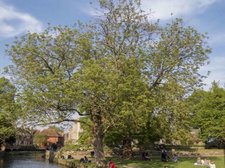 Ash trees affected by dieback Westgate Park. Photo: David Carey