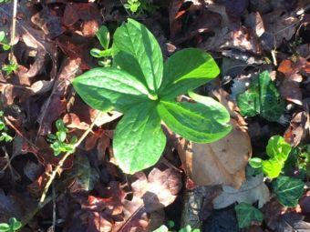 Herb of Paris, Thorn Wood. Photo: Kent Downs AONB