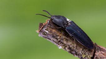 Violet click beetle. Photo: Royal Holloway University
