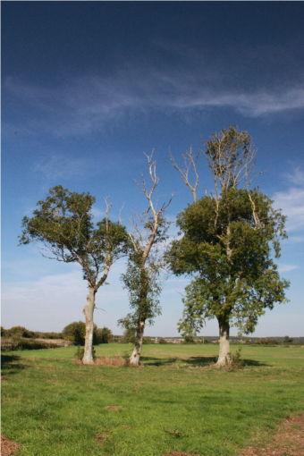 Romney Marsh Ash. Photo: Nick Delaney